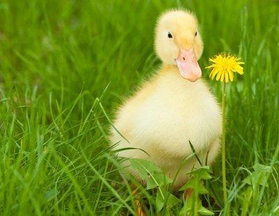 Problemas de salud en patos: todo lo que necesitas saber