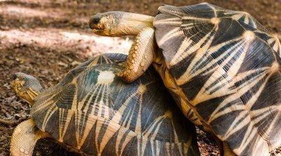 Cómo se reproducen las tortugas domésticas: de tierra y de agua dulce