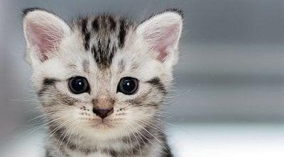 Pene de gato: una parte muy peculiar