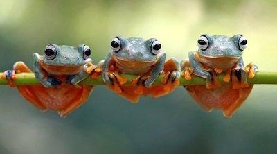 Qué comen las ranas