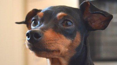 Razas de perro: Pinscher miniatura