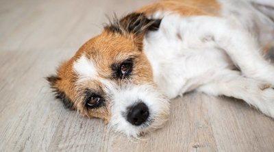 Síntomas de envenenamiento en perros: primeros auxilios
