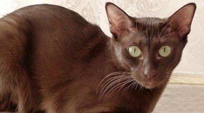 Razas de gato: Habana