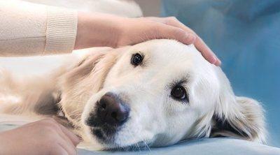 Cuidados postoperatorios de un perro tras una operación