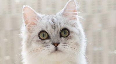 Razas de gato con el pelo largo