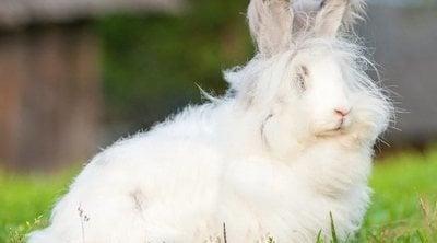 Conejo enano de Angora: todo sobre esta raza