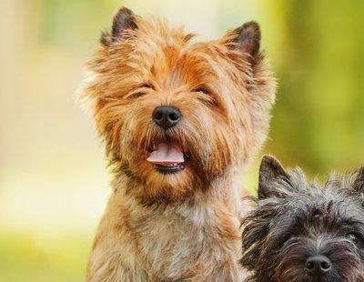 Razas de perro: Cairn Terrier