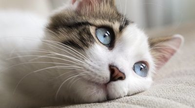 Cómo curar heridas a los gatos
