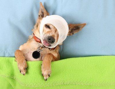 Cómo curar heridas a los perros
