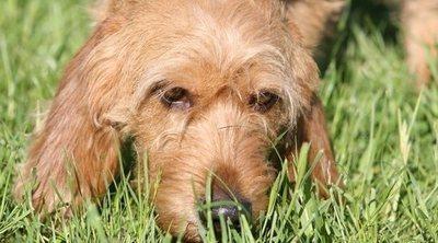 Razas de perro: Basset Leonado de Bretaña