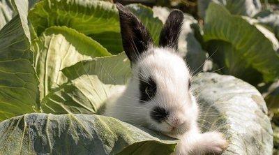 Conejo mariposa: conoce todo sobre esta raza