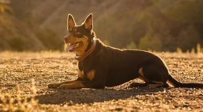 Razas de perro: Kelpie australiano